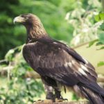 golden-eagle-3489140_1920